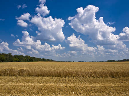 cumulus clouds over a field of ripe wheat, and a flat timber on the horizon Stock Photo