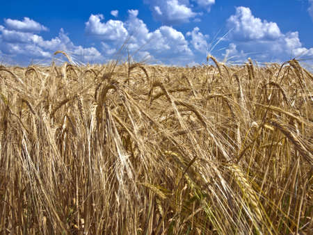 field of ripe barley to the horizon, and above it a blue sky with white clouds Stock Photo
