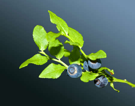 Blueberry twig and some berries on it. isolation Stock Photo