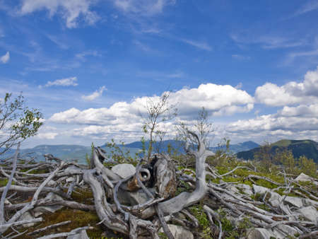 curved stems and roots of procumbent alpine  pine and young trees above them on the mountain top