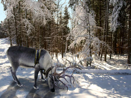 In the foreground is a reindeer. Winter forest. The sun shines through the trees and branches in the frost covers.