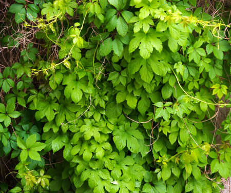 quick hedge: The wall is completely hidden overgrown with vines of Virginia creeper