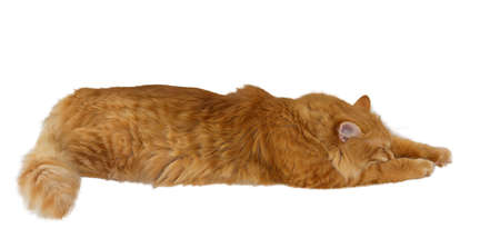 Beautiful ginger cat with a fluffy tail is asleep, stretched out at full length  Isolation on a white background  Isolation on a black background