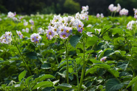 potato field during the flowering period  In the foreground, purple inflorescence close-up