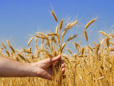 hand in which the spikes of wheat against the background of a wheat field Standard-Bild