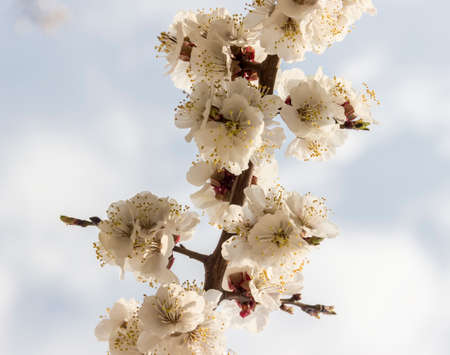 Branch of a blossoming apricot on background blurred sky with clouds