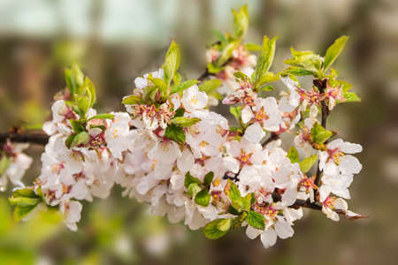 Flowering branch of cherry with dew drops on a blurred background