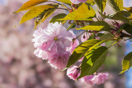 Flowering branch of cherry blossom (sakura) with delicate pink flowers and fresh leaves on blurred background.