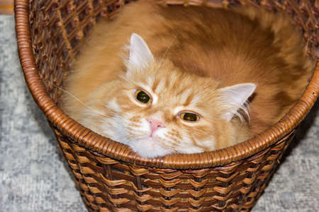 osier: Red cat lying with a cocked head in a basket
