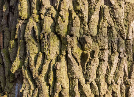 foliar: The rough bark of old oak. Background.
