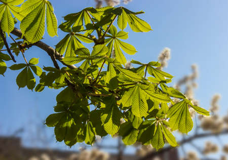 Chestnut branch with vernal blossoming leaves on blurred background
