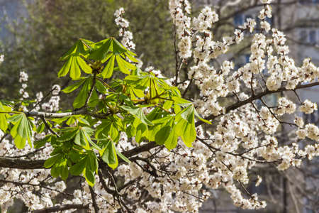 vernal: Branch of chestnut with vernal blooming leaves on a background of of flowering apricot