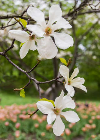 magnolia branch: Branch with magnolia flowers on blurred background