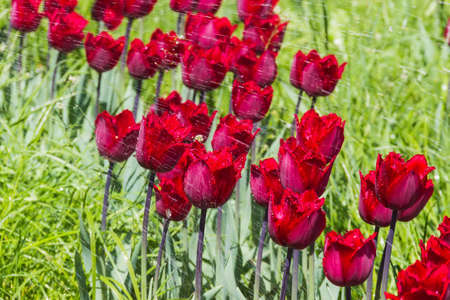 dark red: Dark red tulips with splashes and drops of water