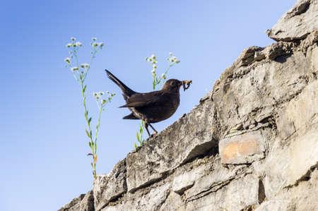 lombriz de tierra: Mirlo negro eurasi�tico con lombriz en su pico en la pared contra el cielo