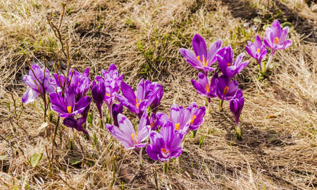 glade: Glade with blooming purple crocus among the withered grass. Carpathians. Stock Photo