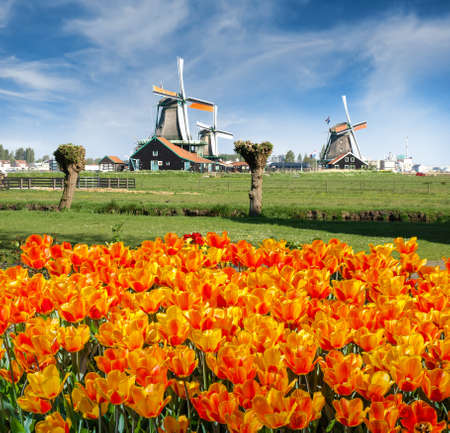 Windmills with orange tulips in the foreground against the sky. Zaanse Schans, Netherlands