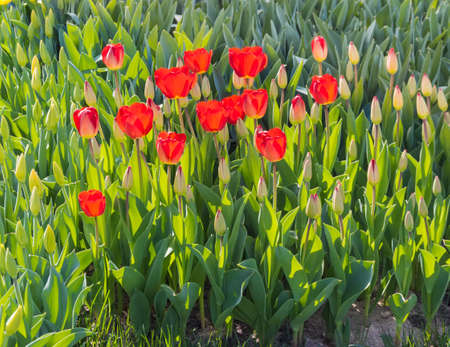 Group brightly sunlit red tulips surrounded not yet blooming flowers Stock Photo