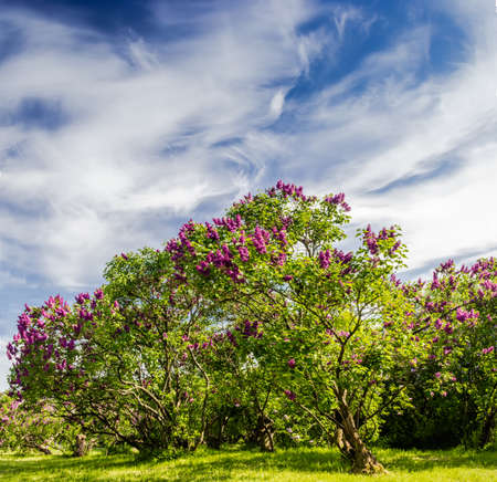 Garden of lilac bushes and trees against the sky with blurred clouds