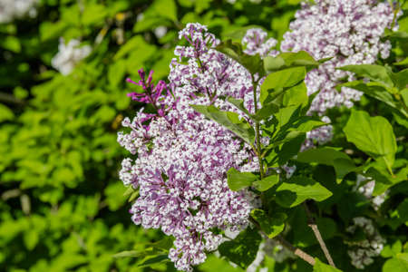 Lilac bush with pale purple flowers against the green foliage Stock Photo