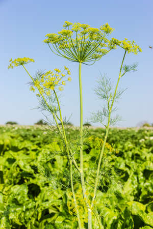 greenery: Flowering dill twig against the sky and greenery