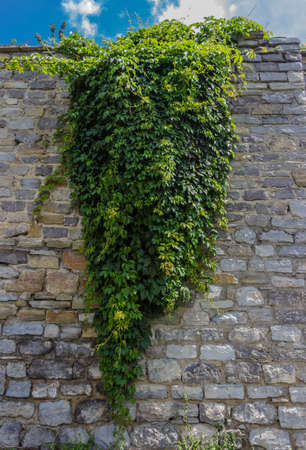 twined: Stone wall with ivy hanging from it