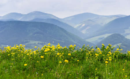 Glade with yellow flowers on a background of mountains Stock Photo