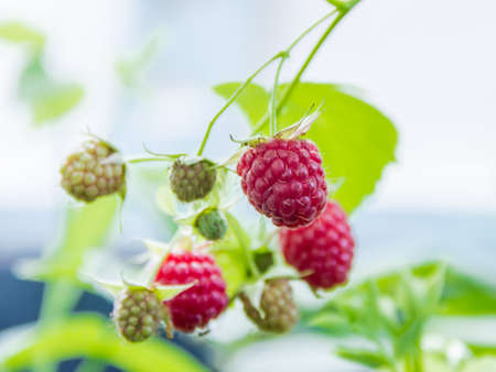 potherb: Berry of raspberries against a blurred background raspberry bush on a light background Stock Photo