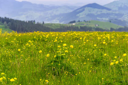 glade: Glade with yellow flowers on a mountains Stock Photo