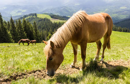 pastureland: Grazing bay horse on a mountain pasture against mountains