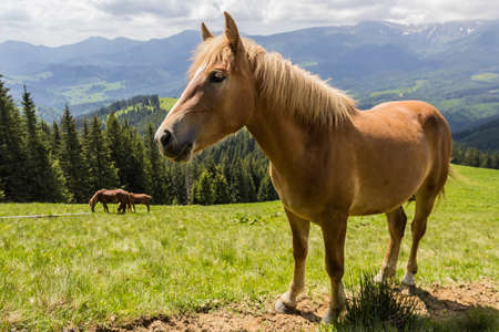 pastureland: Bay horse on a mountain pasture against mountains