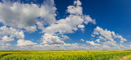 Blue sky with cumulus clouds over a field of sunflowers photo