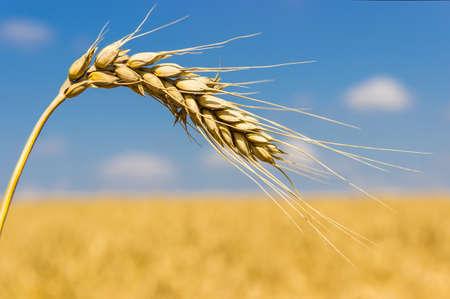 oido: Oreja de madura primer trigo sobre un fondo de campos de trigo y el cielo