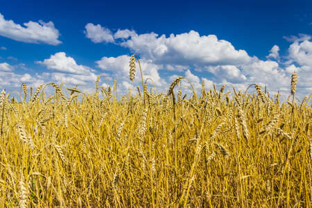 Ripe wheat field against the sky with clouds