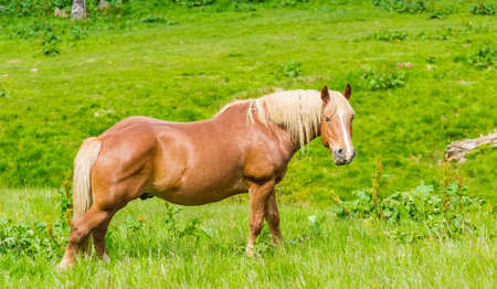 animal breeding: Bay horse chewing grass on a mountain pasture in the background of meadows