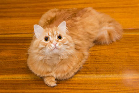 ginger cat: Ginger cat lying on a wooden surface and looking up