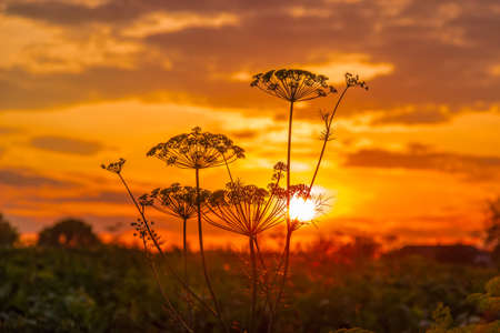Sunset on the background of dill stalks with inflorescences Stock Photo