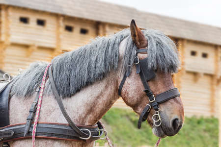 belgian horse: Horse head breed Brabancon with roan and bay color in a harness on the background of wooden fortress walls