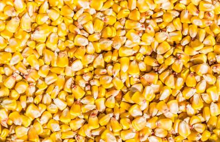 elote: Los granos de un maíz maduro descascarillado de la mazorca de maíz. Textura. Foto de archivo