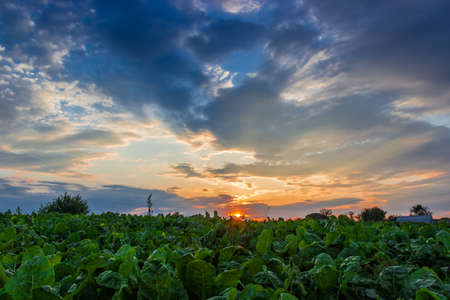 Sunset on the background of field with vegetables photo