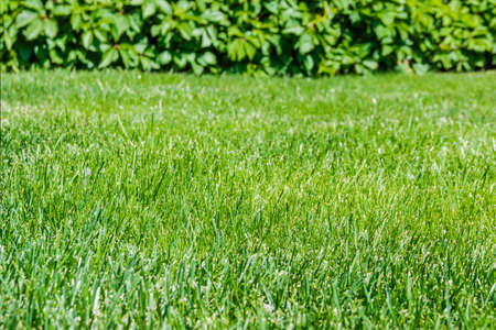 twined: Lawn with cropped grass on the background of ivy