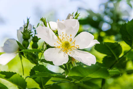 sprig: Sprig of wild rose with white flower in the blurry background Stock Photo