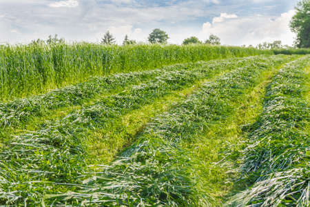 cut the grass: Green mown hay collected in windrows among the not yet cut grass Stock Photo
