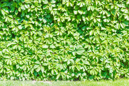 twined: Ivy covering the wall with lawn in the foreground Stock Photo