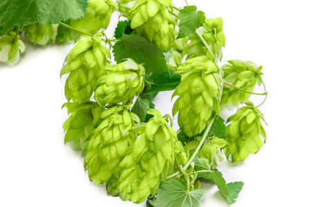 Hops branch with leaves and strobiles closeup on a light background. Isolation. Stock Photo