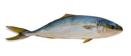 Whole round raw fish yellowtail (Japanese amberjack) closeup on a light background. Isolation.