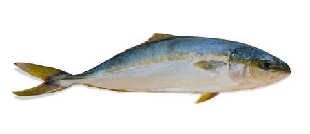 Whole rond jaune de poisson cru (sériole du Japon) gros plan sur un fond clair. Isolement. Banque d'images - 43215940