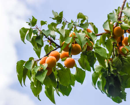 sappy: Branch with ripe apricots and leaves on the sky background