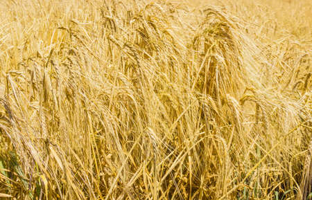 yields: Spikelets of ripe barley in the field closeup