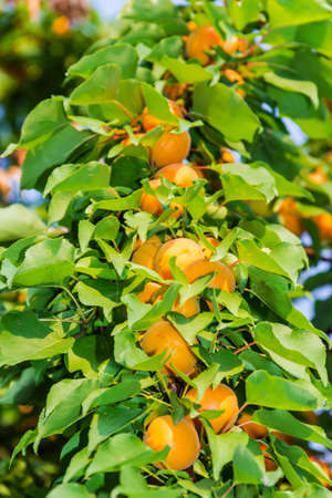 sappy: Ripe apricots on a tree branch among the leaves Stock Photo